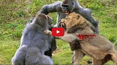 Gorilla Vs Lion Real Fight Lions Kill And Eat Baboon