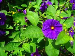 purple potato plant flower   Flickr - Photo Sharing!