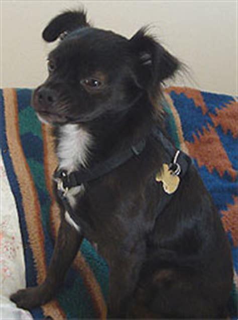 chihuahua mixed breed dog  dog encyclopedia dogs  depthcom