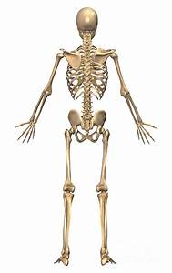 Skeletal System And Muscular System