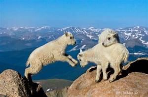 Sturdy as a mountian goat...