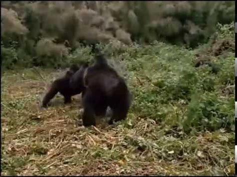 animal planet discovery channel wildlife gorilla youtube
