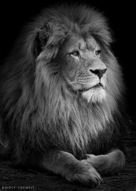 Male Lion Portrait by Wolf Ademeit. ° …   Lion pictures