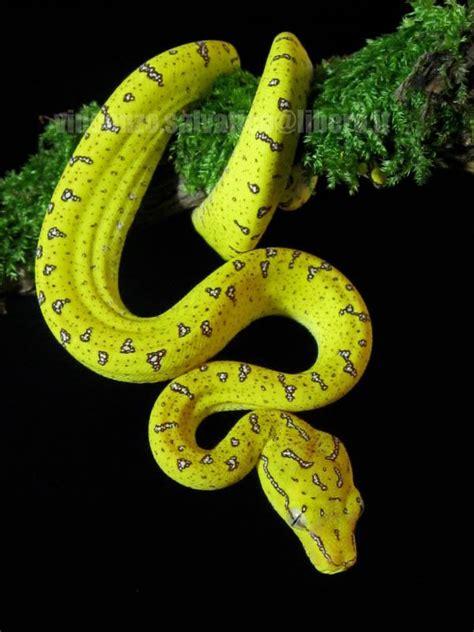 images  green tree python morelia viridis