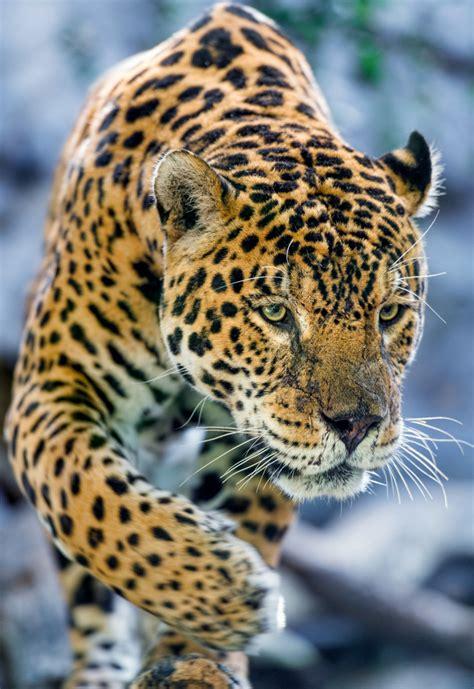Black Blue Jaguar Carefully Approaching Tambako The
