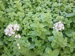 Marjoram – Michael Borek Farms