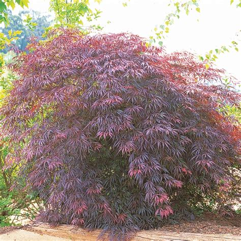 weeping japanese maple varieties our range the widest range of tools lighting gardening products