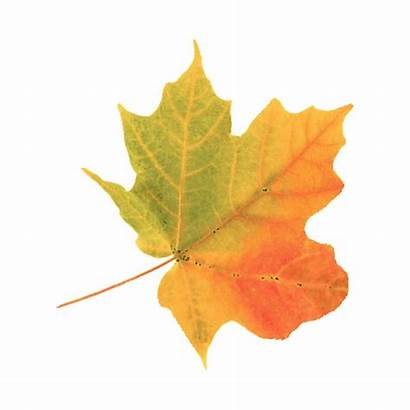 Fall Leaves Sticker Giphy Imoji Android Tweet