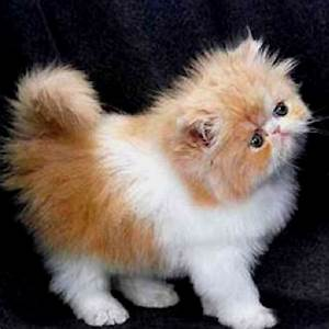 Pics For > Ginger And White Persian Cat
