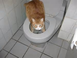 cat toilet cat drinks out of toilet litter hair foam cats