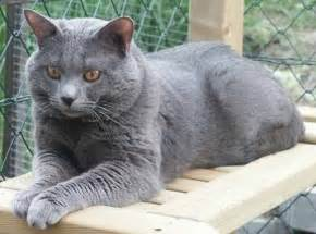 chartreux cat price cat breeds chartreux information
