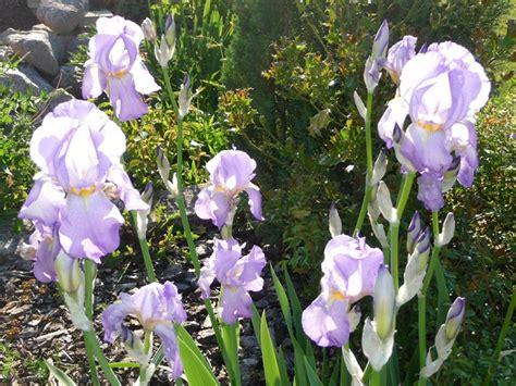 le jardin des iris haguenau