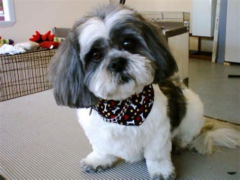 Shih-tzu Teddy Bear Head, Medium Length Kennel Cut.