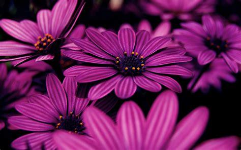 wallpaper lilac flowers purple hd  flowers