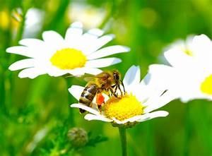 Welche Blumen Für Bienen : pflanzen f r insekten bienenfreundlicher garten gartenpflanzen garten ~ Eleganceandgraceweddings.com Haus und Dekorationen