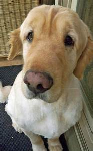 The gallery for --> Yellow Lab Corgi Mix