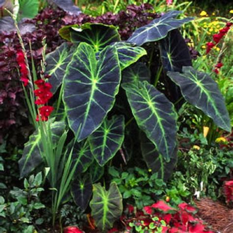 best place to plant elephant ears polynesian produce stand imperial taro colocasia esculenta illustris ornamental elephant ear
