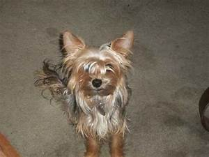 Pin Full-grown-chorkie-image-search-results on Pinterest