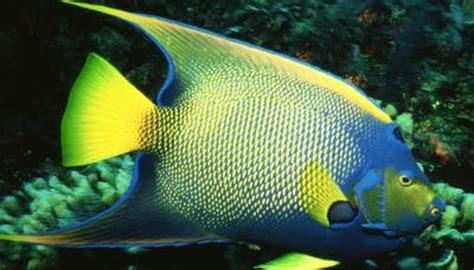 angelfish characteristics animals momme