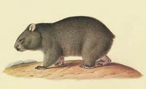 Cute Wombat Illustration