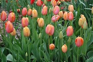 Wann Dahlien Pflanzen : wann pflanzt man tulpen blumenzwiebeln tulpen narzissen krokusse und andere blumenzwiebeln ~ Frokenaadalensverden.com Haus und Dekorationen