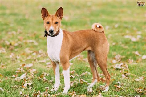 basenji dog breed information buying advice photos and