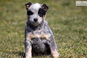 More pups... | Hooray for Heelers | Pinterest | Love The ...