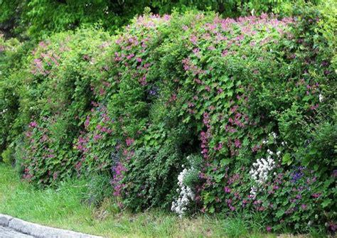 Zaun Begrünen Immergrün by Bepflanzte Gabionen