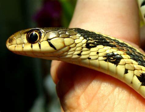 Kansas McKay: Spring time in Kansas - Garter Snakes