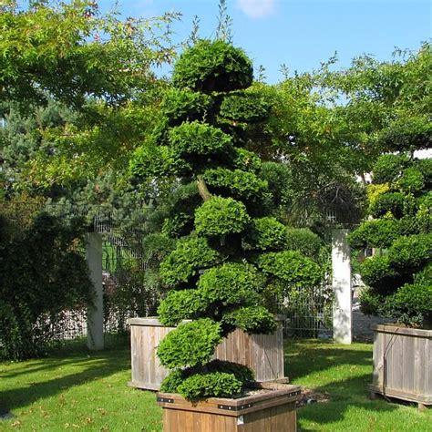japanischer ahorn formschnitt chamaecyparis obtusa nana gracilis ein 252 ber 2m hohes exemplar muschelzypresse hinoki