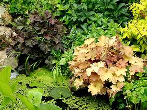 heuchere planter et entretenir ooreka With photos terrasses et jardins 6 pensee planter et entretenir ooreka