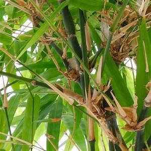 Bambus Als Zimmerpflanze : bambus pflege ~ Eleganceandgraceweddings.com Haus und Dekorationen