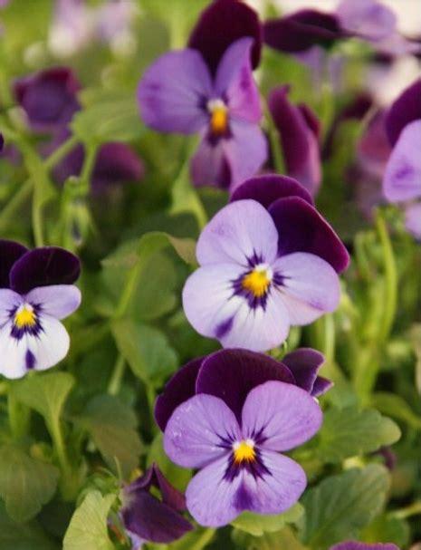 10 ēdamas puķes - Mia.lv