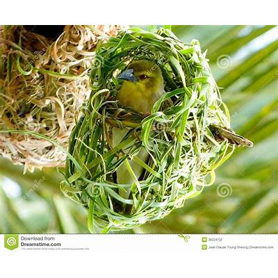 African Weaver Bird In Its Nest. Royalty-Free Stock Photo