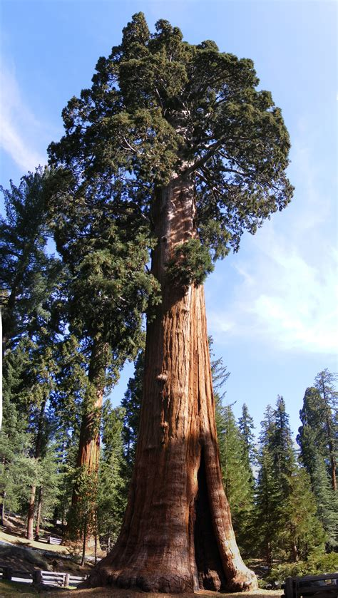 Huge, orangish-colored tree with dark green leaves