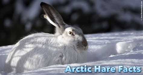 arctic hare facts  kids information pictures video