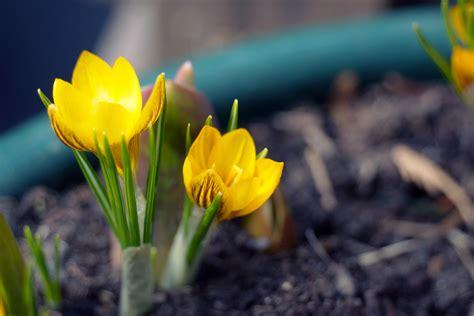 Lange Blühende Pflanzen by Krokusse Pflanzen Und Pflege Anleitung Hausgarten Net