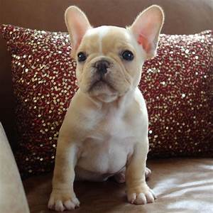 French Bulldog - Playful and Smart | Champs, French ...
