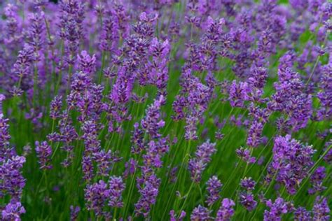 lavender for flies 12 easy to grow natural mosquito and fly repellent plants the self sufficient living