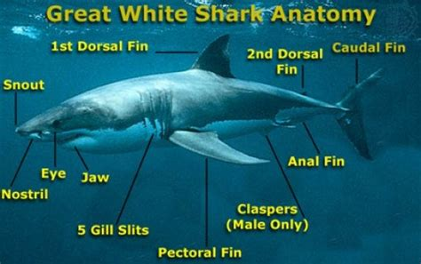 Great White Shark Diagram by Interesting Facts About Great White Sharks For Hubpages