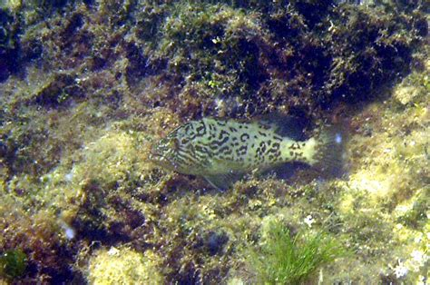gag juvenile grouper appears rod feb feet water