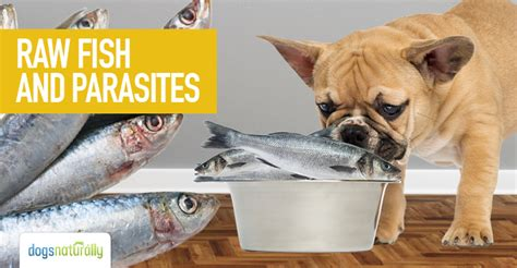 raw fish  parasites dogs naturally magazine