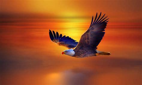 flight bald eagle  red sky sunset beautiful desktop