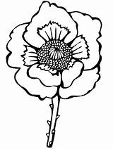 Coloring Pages Remembrance Poppy Flowers Colouring Anzac Poland Realistic Flower Veterans Poppies Printable Blossom Corn National Veteran Holiday Important Message sketch template