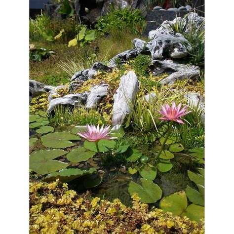 Water Lily  Tropical  Water Lilies  Water Plants