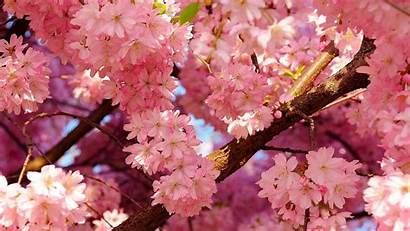 Spring Wallpapers Cherry Blossoms Vector