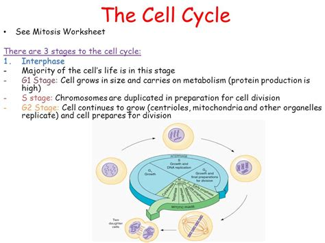 28+ [ Mitosis And The Cell Cycle Worksheet ]  My Science Class Ms Pinzon S 6th Grade Science