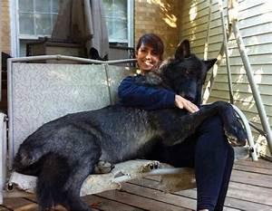 Black Wolf Hybrid Dog! | Siberian Huskey Love | Pinterest ...