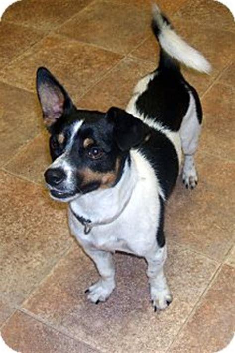 jack rat terrier info temperament puppies pictures
