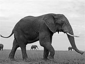 Elephant Image, Serengeti-- National Geographic Photo of ...
